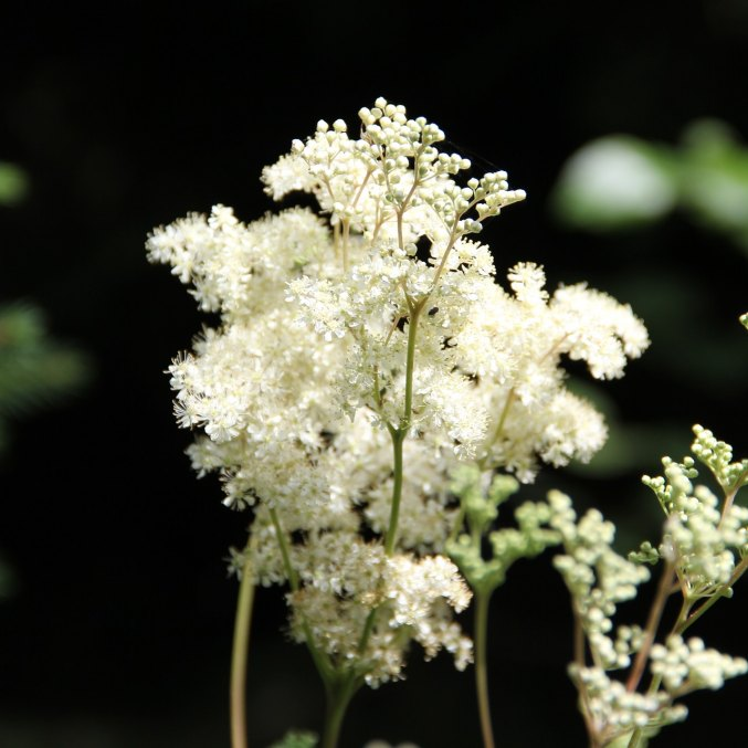 Meadowsweet phytol (limited edition, Lithuania)
